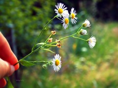 take care .. (.natia.) Tags: daisies chamomile flower summer sunny day trip hand view ntigraphy colorful warm colors beautiful care take love