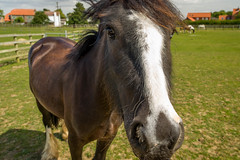 2016-08-09 Bransby-1973.jpg (Elf Call) Tags: mother nikon baby lincolnshire foal 18300 horse d7200 bransby
