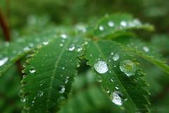 may I offer some refreshment? (lunaryuna) Tags: macro bokeh leaf summer season seasonalbeauty rain droplets gorgeousgreenthursday nature lunaryuna