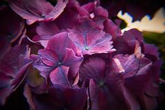 Hydrangea (jtat_88) Tags: none sonya7 sony polaroidcloseupfilter ilce7 mirrorlesscamera macro plant leaves hydrangea