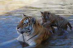 1311-20L (Lozarithm) Tags: owslebury hants marwell flickrbigcats bigcats tigers sigma 70300 sigmaaf70300mmf456apodgmacro