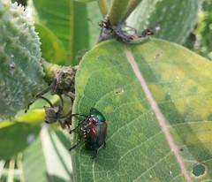 Ant on Beetle on Milkweed (verysubmm) Tags: ant beetle carapace green iridescent milkweed insect leaf