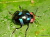 Chrysomelidae (Ecuador Megadiverso) Tags: andreaskay beetle coleoptera ecuador loscedros chrysomelidae