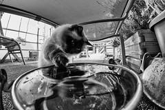 ...CatFish.... (7H3M4R713N) Tags: cat chat agathethecat birman pawn fluffy xt1 rokinon8mmf28 fisheye monochrome bw kitty neko gatto water thirtsy
