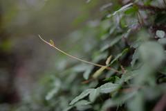 Autumn sprout of asiatic jasmine (shizen.shigen) Tags: trachelospermumasiaticum  asiaticjasmine sprout