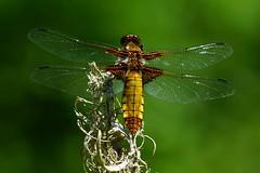 DSC06882 - Female Broad bodied Chaser (steve R J) Tags: female broad bodied chaser backwarden ewt reserve danbury dragonfly odonata british