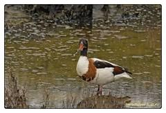 Tadorne de Belon (philippejubeau) Tags: anatidae de lile r philippe jubeau charente maritime oiseau
