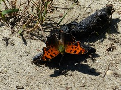 Eastern Comma (Polygonia comma) (Nature In a Snap) Tags: crosswicks creek greenway province line road access plumstead township 2016 nature wildlife nj new jersey butterfly butterflying butterflier winged punctuation brushfooted