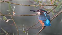 Kingfisher (Alex Verweij) Tags: kingfisher ijsvogel blauw blauweschicht alexverweij canon 5d