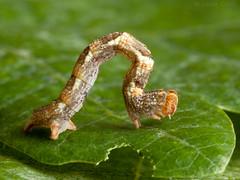 Photo of Maiden's Blush (Cyclophora punctaria) 17mm larva - brown form.
