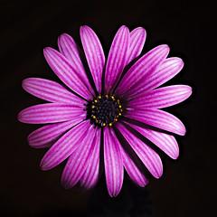 Macro Flower (Macr1) Tags: 61403327236 afnikkor50mmf18d camera d700 default flash flora flower indoor kenkoautoextensiontubesetdg lens macro markmcintosh nikkor nikon nikond700 sb900 speedlight strobist macr237gmailcom markmcintosh