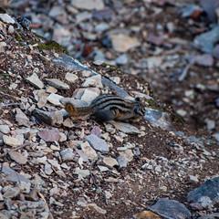 DSC_0075 (Adrian De Lisle) Tags: lakemoraine banffnationalpark banff groundsquirrel wildlife