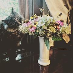 Fiesta Inspector #fiestaware #fiesta #homerlaughlin #vase #flowers #catsofinstagram #catstagram #catsinwindows #tortoiseshellcat #tortiesofinstagram #tortitude (Sivyaleah (Elora)) Tags: fiestaware vase homer laughlin cat tortoiseshell