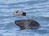 Seals off Hilbre Island (andyb7m) Tags: hilbre island hilbreisland canon canon1d seal