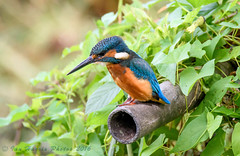 Male Kingfisher. whats down there then ? (ian._harris) Tags: d750 tamron 150600 nature rspb september wild flickr natur