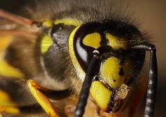 Wasp. (Scorpion 9) Tags: wasp feeding yellow black sting insect macro