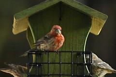 House Finch (shutterbug1505) Tags: finch bird watching outdoors