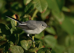 Blue Gray Gnatcatcher (Danielirons02) Tags: nikond610 nikontc14 nikon300mmf4 bluegraygnatcatcher maryland queenannescountymd gnatcatcher songbird