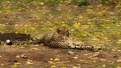 Pairi Daiza (Natali Antonovich) Tags: pairidaiza zoo nature park tradition autumn pensiveautumn animal guepard cheetah predator belgium belgique belgie