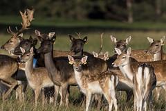 3H8A4017 (shay connolly) Tags: fallow deer dublin phoenix parl wildlife shay connolly