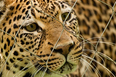 Pretty Kitty (vzonabaxter) Tags: columbuszoo columbus ohio face closeup cat canon eos kitty bigcat 2012 50d vzonabaxter
