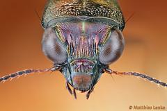 Ground beetle / Eilkfer / Notiophilus sp. (Matthias Lenke) Tags: macro eye closeup insect compound head beetle ground makro upclose microscope insekt auge antennae kfer kopf coleoptera carabidae mikroskop laufkfer notiophilus eilkfer