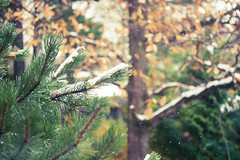 Snowing (Christine H.G.) Tags: light snow green nature pine canon xsi canonefs60mmf28macrousm 450d