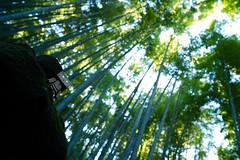 Kamakura photowalk 2012 - Bamboo monster (Takashi(aes256)) Tags: monster bamboo 日本 竹 神奈川県 danbo 竹林 報国寺 鎌倉市 nikond4 ダンボー nikonafsnikkor28mmf18g 鎌倉フォトウォーク2012 kamakuraphotowalk2012