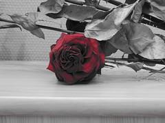 rose fane (coc1411) Tags: france nature fleur nikon noir coolpix normandie calvados couleur caen francais frenchcoolpicnikonuser