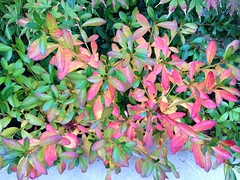 Azaleas (amt40) Tags: autumn flower garden flor japanesemaple acer otoo azalea deciduous shrubs palmatum arcejapons