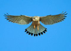 Hovering kestrel (Wouter's Wildlife Photography) Tags: bird nature wildlife ngc npc falcon symmetrical predator birdsofprey kestrel hovering birdinflight falcotinnunculus torenvalk roofvogel supershot lentevreugd mygearandme biddendetorenvalk arkivebirds