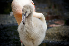 Young Flamingo C (larryn2009) Tags: california bird fall animal zoo sandiego flamingo unitedstatesofamerica september phoenicopterusruber 2012 sandiegocounty americanflamingo sandiegosafaripark