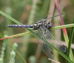 White-faced Darter (Leucorrhinia dubia) Female (Rezamink) Tags: uk dragonflies odonata leucorrhiniadubia whitefaceddarter