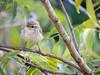 Common Tailorbird, Orthotomus sutorius (nbu2012) Tags: india west bird birds campus university north common juvenile bengal siliguri pakhi tailorbird orthotomus sutorius nbu tuntuni dorzi nbu2012