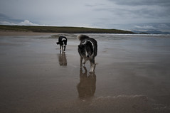 Reflective (Chris Willis 10) Tags: simon beach dogs reflections reflective sait simonsait wwwpawsforaphotocouk