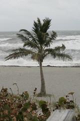 Palm Tree (0298c5c6eb69b5d348a9ad2fbfc9584d) Tags: 6541 oceanpalmtree