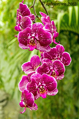 Orchids revisited (katejbrown photography) Tags: sanfrancisco goldengatepark flowers flower green nature orchids magenta katejbrown