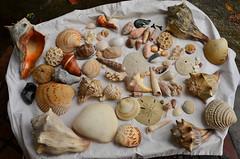 Shells (dsrphotography) Tags: ocean california shells beach coral hawaii pacific florida cloudy south indianocean southcarolina clam atlantic carolina caribbean sanddollar baja seas conch seaofcortez irishsea tasmin puka