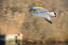 oyaMAM_20121114-163907 - In Flight Before Sunset (MichaelAPMayo) Tags: nature birds photography riverhead oyamam oyamaleahcim