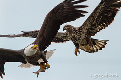 Determined - Eagle S3 (greg obierek) Tags: bird nature canon eagle wildlife baldeagle maryland raptor 7d haliaeetusleucocephalus avian lr birdofprey bif susquehannariver lightroom birdinflight harfordcounty ef14xii 700mm eos7d ef500mmf4isl