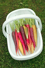 Carrots in a trug (zapxpxau) Tags: autumn green vegetables grass basket gardening lawn harvest crop carrot heirloom carrots veggies colourful root veg allotment trug