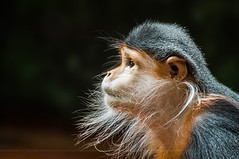 Mister Whiskers (Light Echoes) Tags: fall philadelphia zoo monkey nikon october primate 2012 philadelphiazoo d90 douclangur douc