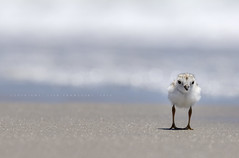 Curious (Lisa Franceski) Tags: ocean beach nature water wildlife pipingplover endangeredspecies naturalhabitat foraging charadriusmelodus pipingploverchick federallyprotected nestingsite pipl pipingploveradult sigma120400mm canont2i pipingploverbaby lisafranceski