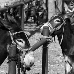 Frå Sundagsmarknaden i Kashgar (dese) Tags: china 2 summer blackandwhite bw animals photo blackwhite foto market sunday july xinjiang kashgar sk juli bazaar sundaymarket kashi kina bazar basar sommar بازار dese 2011 july10 marknad svartkvitt базар kashgarbazaar 巴剎 sundag 바자회 バザール xinjianguyghurautonomousregion desefoto sundagsmarknaden sundagsmarknad kashgar'ssundaymarket