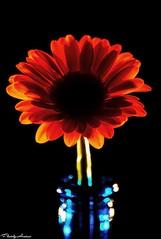 Gerbera (AlexanderArntsen now over 400.000 views) Tags: blue light black flower color colour macro nature beauty closeup canon wonderful photography eos leaf amazing fantastic flickr moments artistic blossom sweden blad gerbera blomma dreamy sverige moment leafs soe autofocus coulorful närbild löv flickrs sigma70300 1850mm flowersnature supershot thegalaxy natureswonder flickraward eos1000d mygearandme natureskingdom ringexcellence blinkagain allnaturesparadise flickrstruereflection1 alexanderarntsen photobyarntsen aleckgie88 rememberthatmomentlevel1