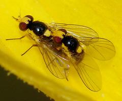 Leaf Miner Flies - Agromyzidae (NatureNM) Tags: newmexico oterocounty agromyzidae leafminerflies liriomyza