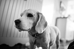 Max (scotteisenphotography) Tags: dog white black max beagle purebred 1dx scotteisenphotography