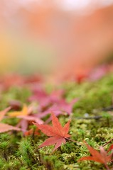 autumn colours (snowshoe hare) Tags: autumn fall nature temple kyoto fallfoliage momiji japanesemaple   ryoanjitemple   dsc3529