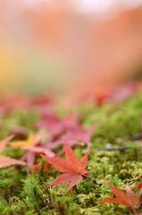 autumn colours (snowshoe hare*(away-pc problem)) Tags: autumn fall nature temple kyoto fallfoliage momiji japanesemaple   ryoanjitemple   dsc3529