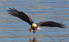 Moment of truth (Khurram Khan...) Tags: eos ngc hunting baldeagle eagles haliaeetusleucocephalus avian birdsofprey conowingo flickrexplore canon600mmf4 canon1dmarkiv
